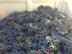 Cab clone 2 and 6 harvest 2013 (2)